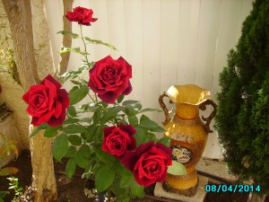 Red Roses in my garden 8.4.2014