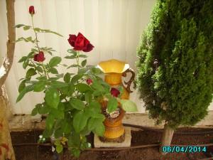 Rose in my garden 6.4.2014
